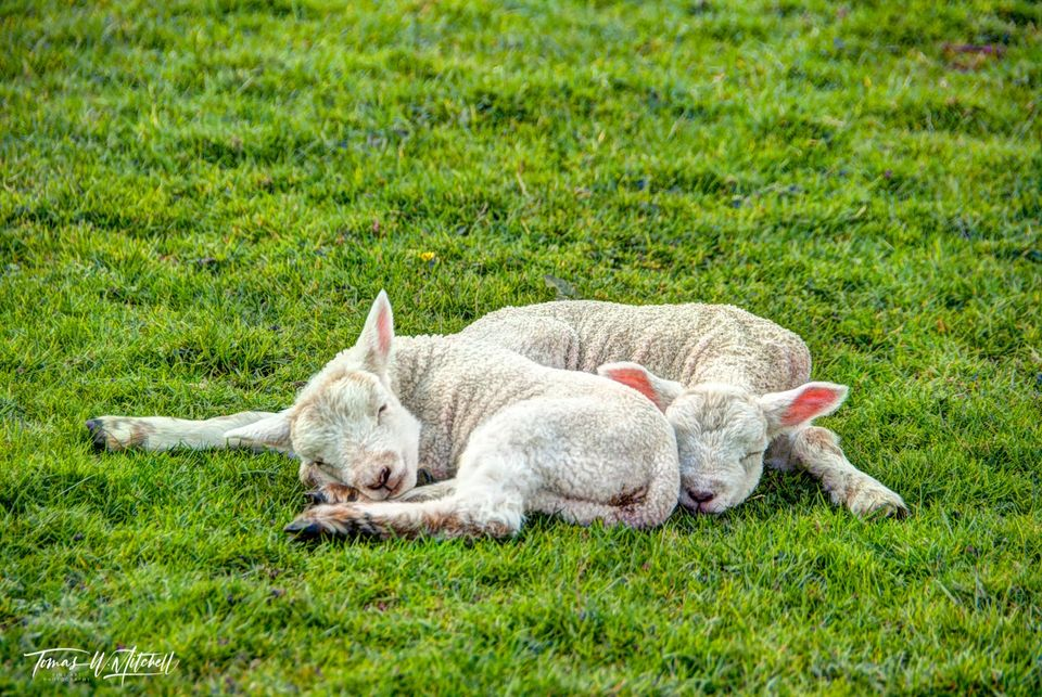 limited edition, museum grade, fine art, prints, nap time, lake district, england, forest side hotel, grasmere, mountains, lakes, villages, farming, village, lambs, field