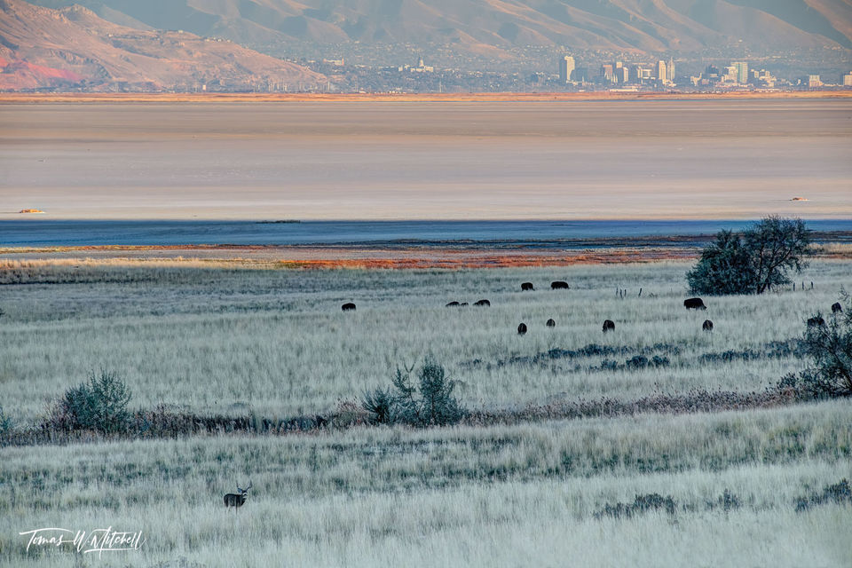 limited edition, fine art, prints, antelope island, utah, wildlife, city, great salt lake, mule deer, bison,
