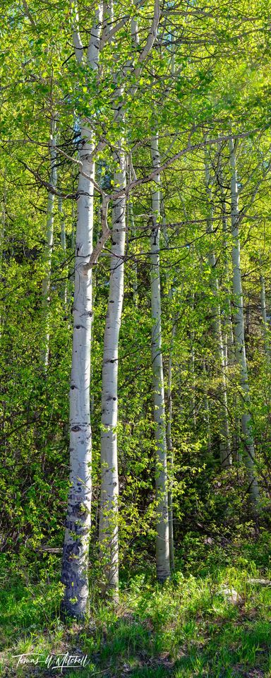 limited edition, fine art, prints, photograph, sentinels, spring, uinta wasatch cache national forest, quaking aspen, trees, green, woods, panoramic