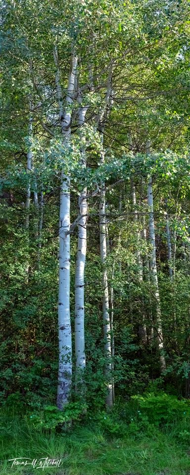 limited edition, fine art, prints, photograph, uinta wasatch cache national forest, summer, sentinels, leaves, trunks, quaking aspen, trees, flowers, panoramic