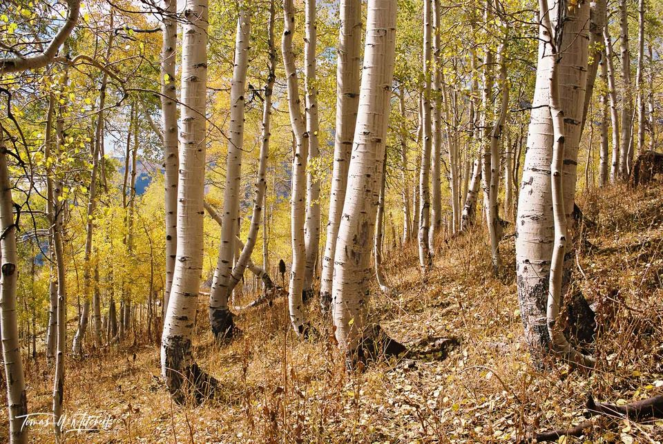 limited edition, fine art, prints, photograph, film, Nikon, forest, trees, mount nebo, trunks, golden leaves, quaking aspens, eyes