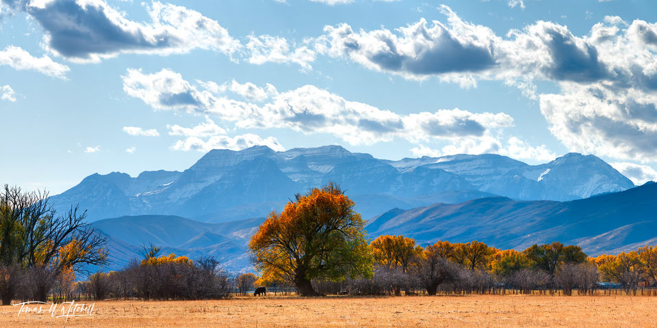 limited edition, fine art, prints, willow trees, heber valley, utah, fall, photographing, mount timpanogos, photograph, clouds, panoramic, colors, princess, cow, autumn
