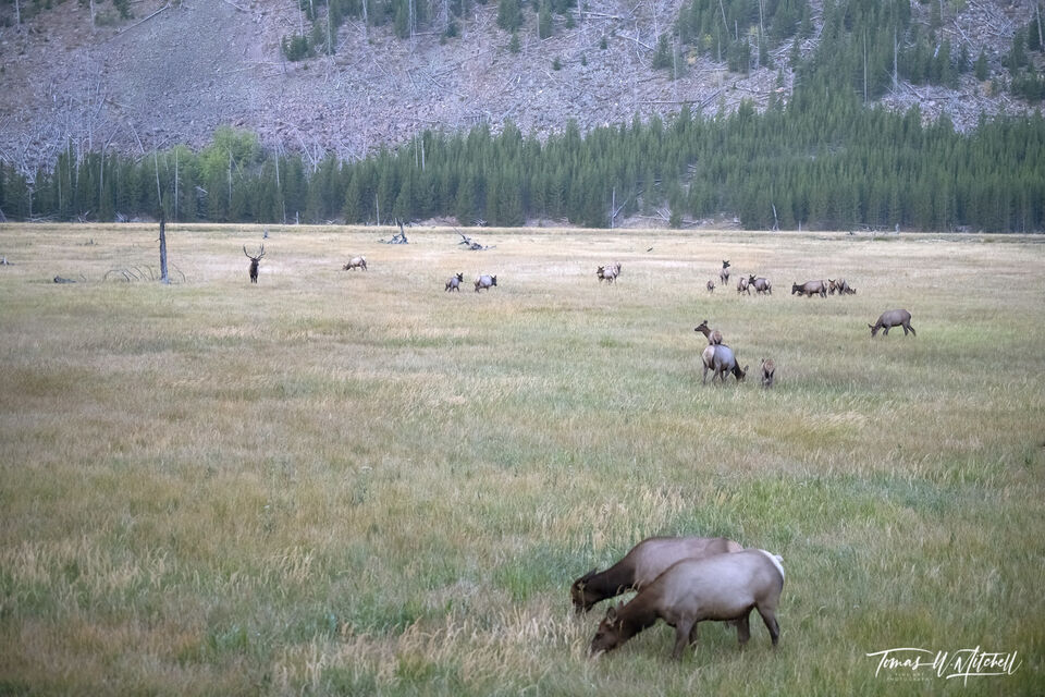 American elk herd grazing in Yellowstone with a big bull in the background.