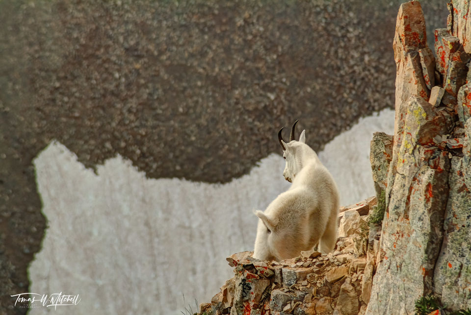 limited edition, fine art, prints, mount timpanogos, utah, wildlife, photographing, mountain goat,  cliff, snow field