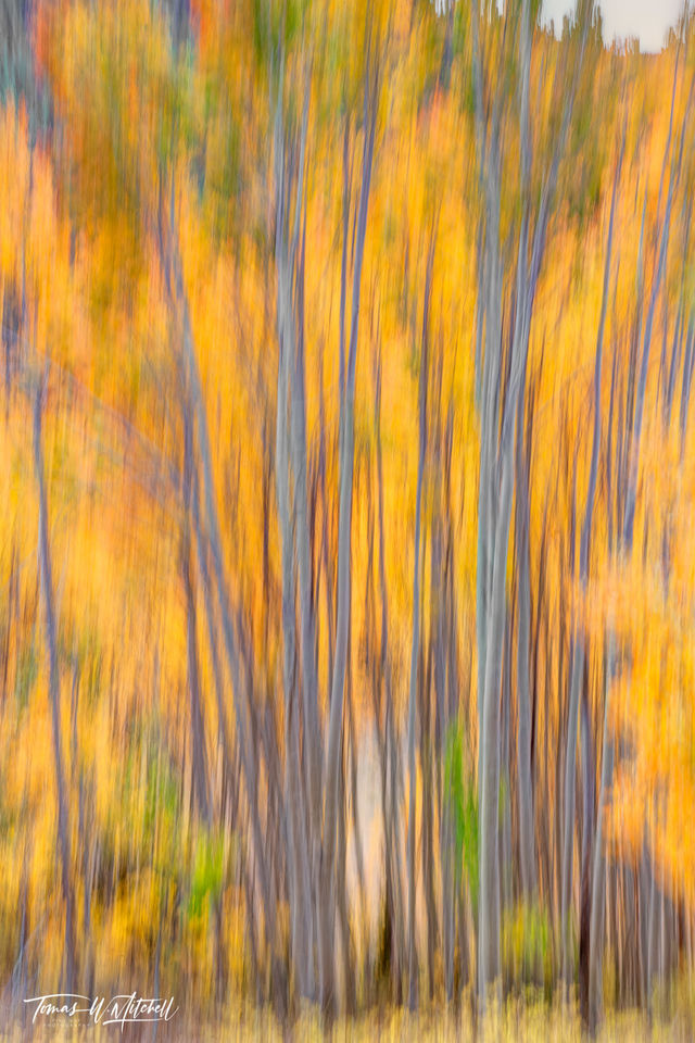 limited edition, fine art, prints, photograph, blurry, fall, leaves, trees, abstract, painted, white, gray, aspen, trunks, yellow, orange
