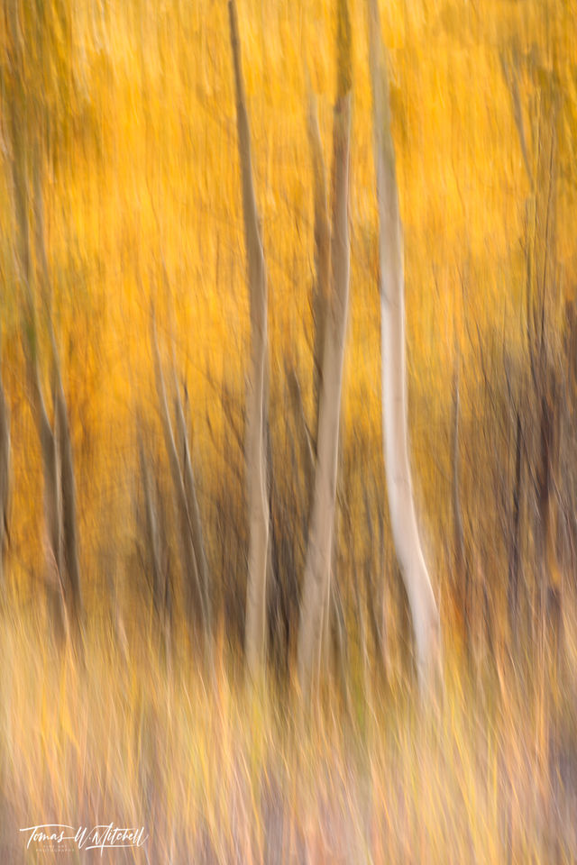 limited edition, fine art, prints, fall colors, lamoille canyon, nevada, abstract, trees, icm, blur, photograph, grass, yellow, green aspen tree, golden,