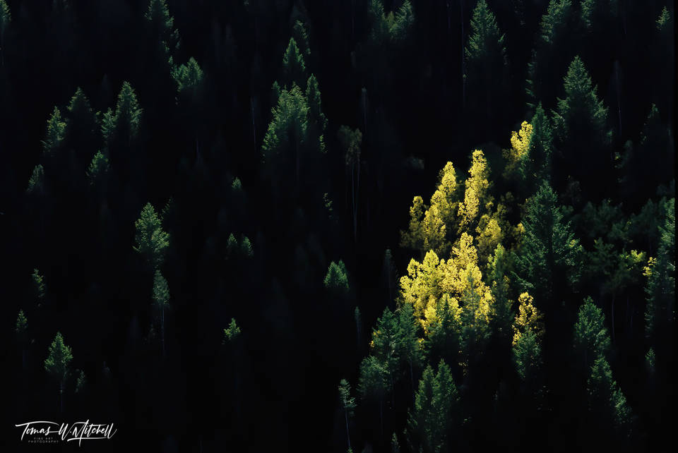 limited edition, fine art, prints, photograph, film, nikon, nature, photograpy, american fork, canyon, alpine loop, utah, fir trees, quaking aspen, forest, negative space, yellow, glowing