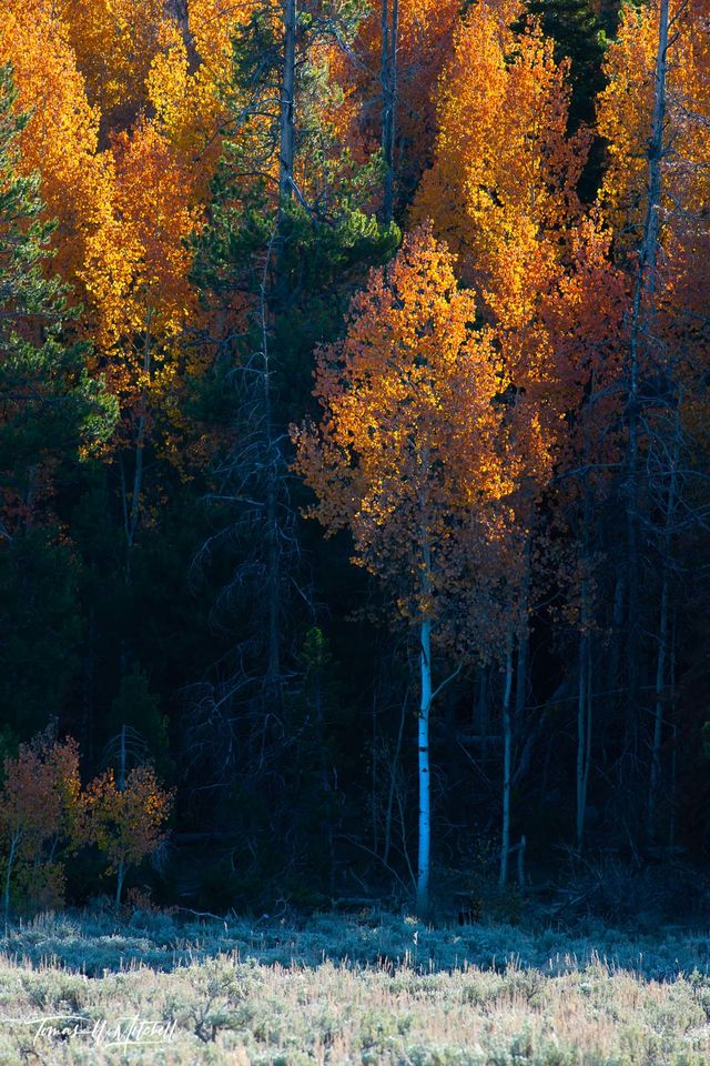 limited edition, museum grade, fine art, prints, aspen glow, utah, forest, light, branches, leaves, darkness, aspens, photograph, orange, red, fall