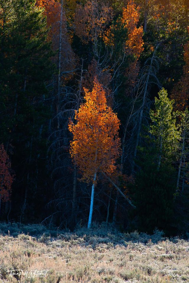 limited edition, museum grade, fine art, prints, quaking aspens, tree, forest, utah, light, yellow, orange, red, photograph, contrast, aspen, fall, autumn