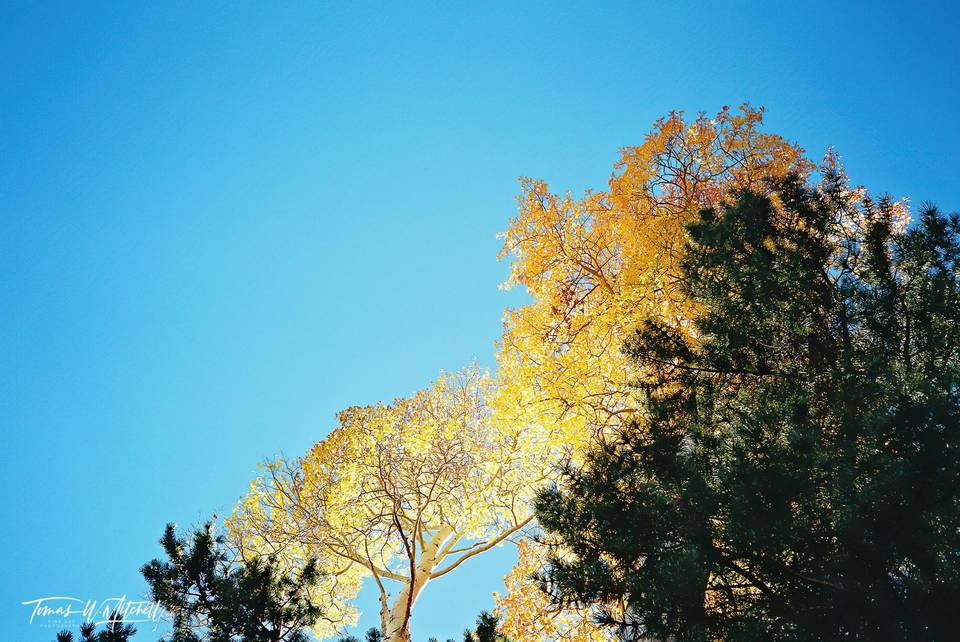 limited edition, fine art, prints photograph, film, utah, wasatch cache national forest, uinta mountains, pentax, colors, contrast, blue sky, quaking aspen, pine tree, blue, yellow, green,