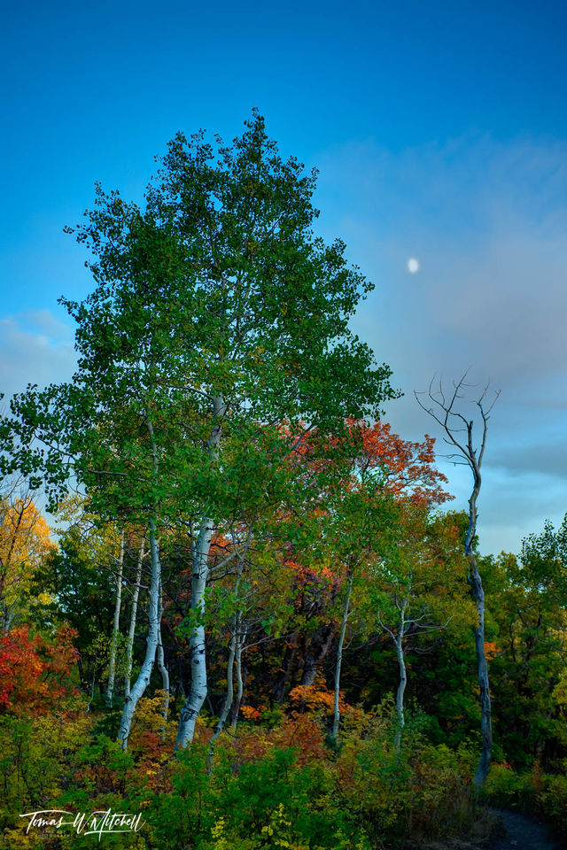 limited edition, museum grade, fine art, prints, autumn, moon, apline loop, utah, photograph, clouds, sunset, autumn colors, trees, dead tree,forest