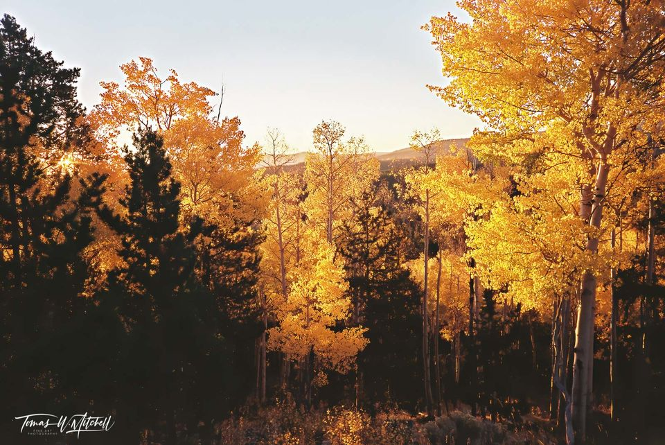 limited edition, fine art, prints, photograph, film, autumn, sunrise, morning, forest, golden, quaking aspens, pine trees, trees, branches