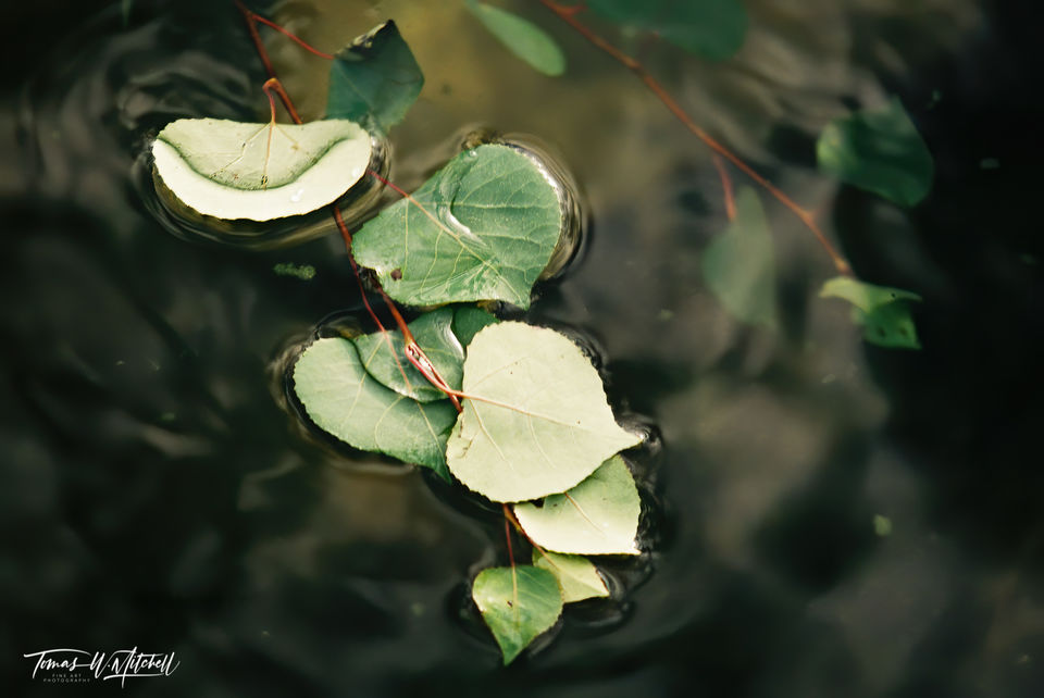 limited edition, fine art, prints, currant creek, utah, film, branches, water, photograph, leaves, abstract