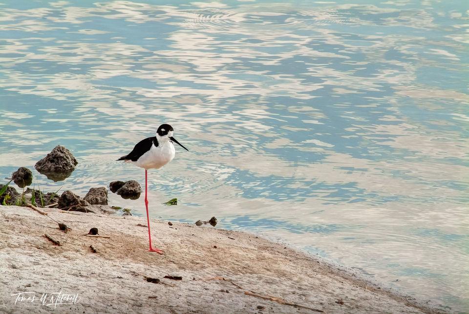 limited edition, fine art, prints, black-necked stilt, bear river bird refuge, utah, photographs, birds, wading birds, photograph, clouds, reflecting, water