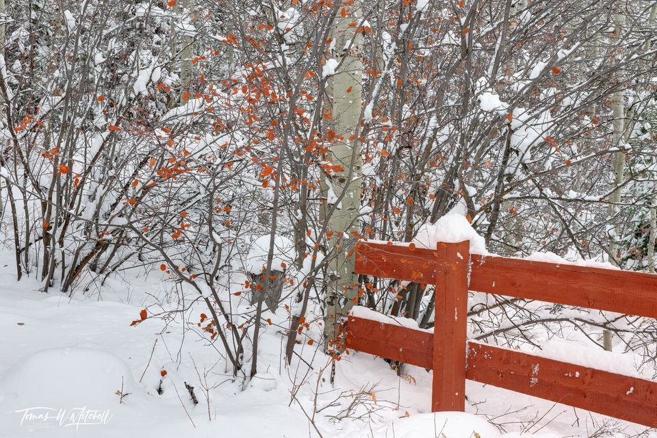 limited edition, fine art, prints, winter, snow storm, photography, fall, leaves, trees, choke cherry, bush, red, fence,