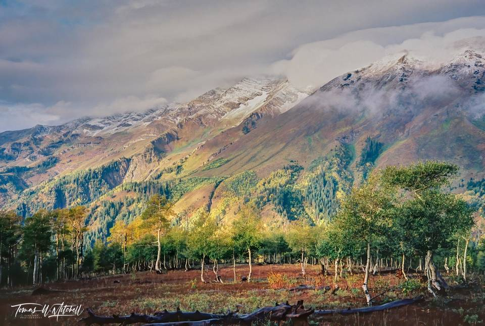 limited edition, fine art, prints, photograph, film, september, pentax, twisted, trees, aspens, snow, soft light, yellow, stormy, clouds, mountain, fall