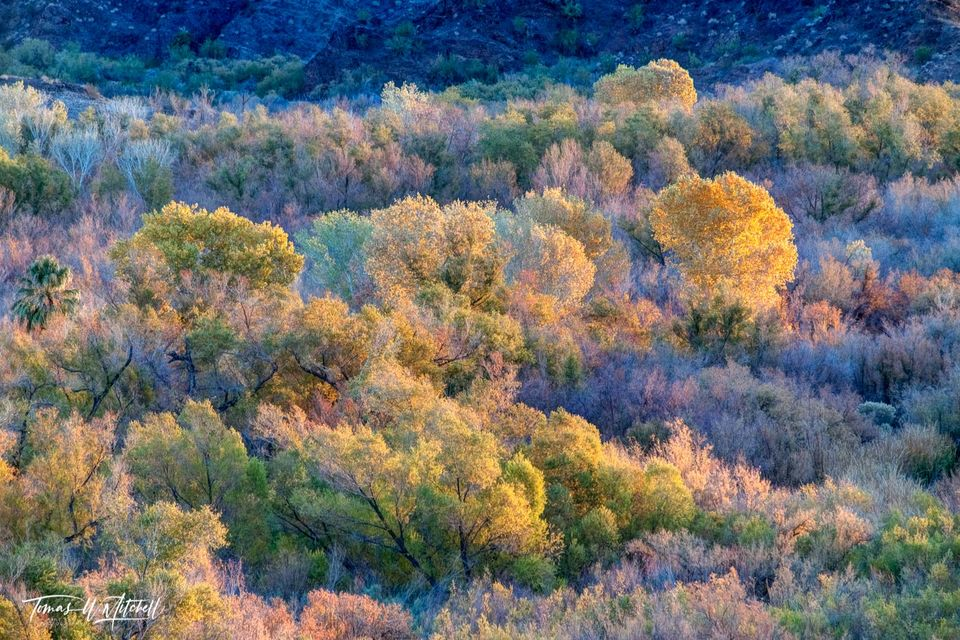limited edition, fine art, prints, desert, monet, bill williams, river, arizona, fall, lake havasu, sunrise, morning, light, color, yellows, greens, pinks, blue, shadows, trees, painting