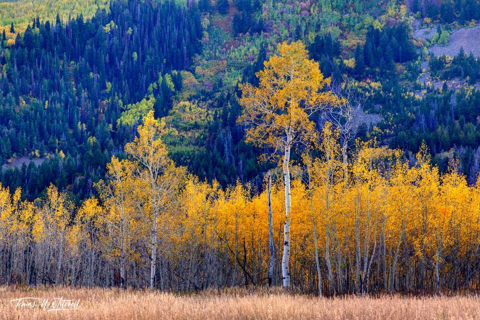 limited edition, museum grade, fine art, prints, colors, autumn, quaking aspens, trees, setting sun, greens, yellows, mountain, enchanted forest, alpine loop, utah, golden, leaves, grass, photograph