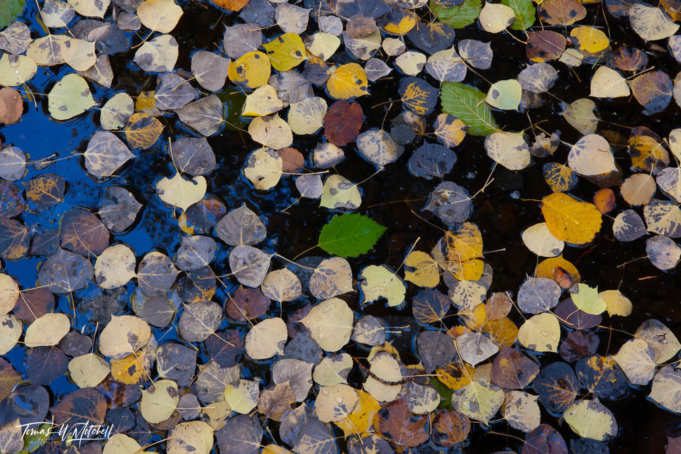 limited edition, fine art, prints, oakley utah, leaves, abstract, fall, pool, photograph, water, blue, yellow, gray, brown, green, stream