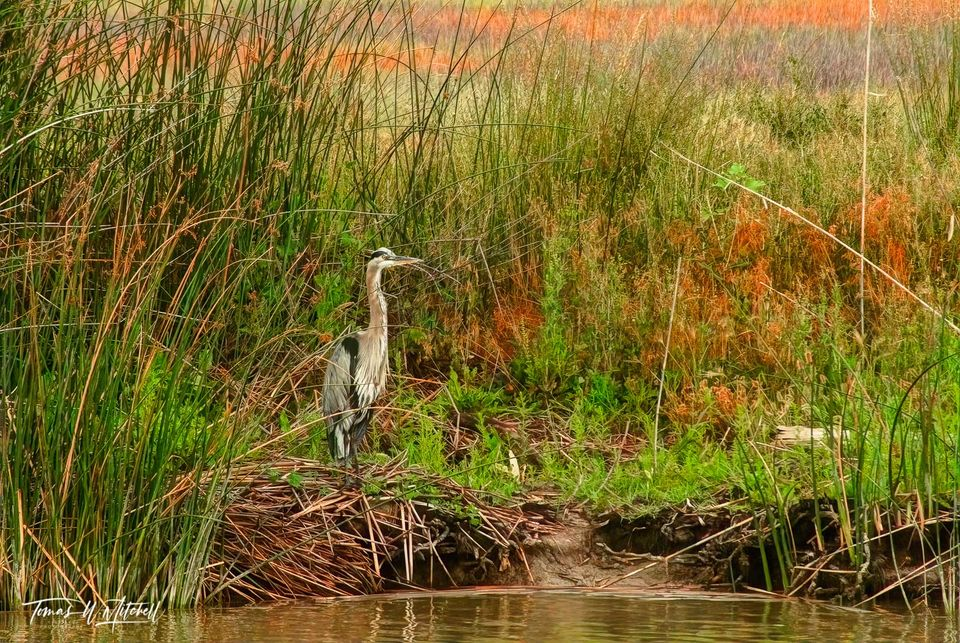 limited edition, fine art, prints, bear river bird refuge, utah, great blue heron, reed, water, rushes