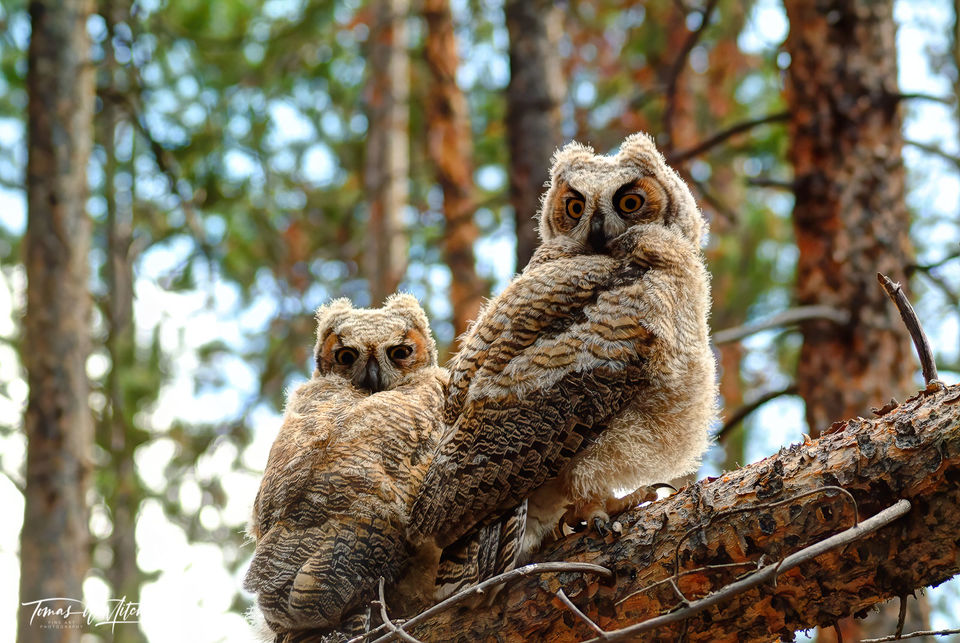 limited edition, fine art, prints, uinta mountains, utah, great horned owls