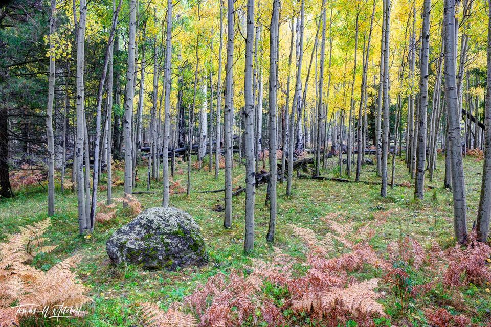 limited edition, fine art, prints, kachina peaks wilderness, arizona, forest, flagstaff, mountains, rainy, photograph, quaking aspen, trees, ferns, moss, rock, yellow, autumn, leaves