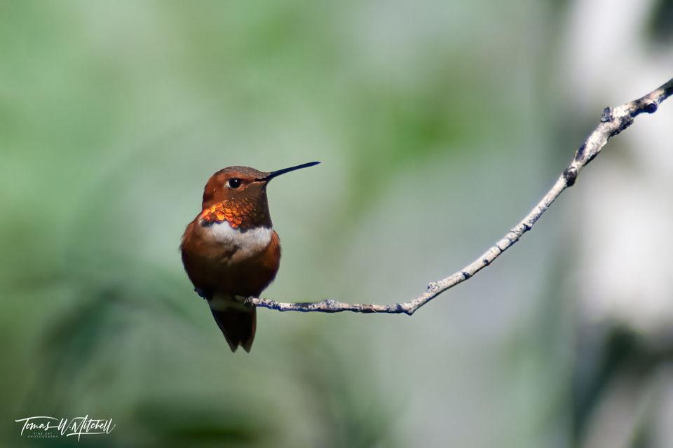 limited edition, fine art, prints, rufous hummingbird, uinta mountains, utah, birds, photograph, aspen trees