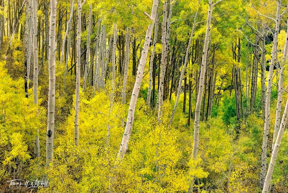 limited edition, fine art, prints, photograph, j.r.r. tolkien, the hobbit, the lord of the rings, mountains, forests, glades, fall, quaking aspens, forest, trees, ancient, lothlorien