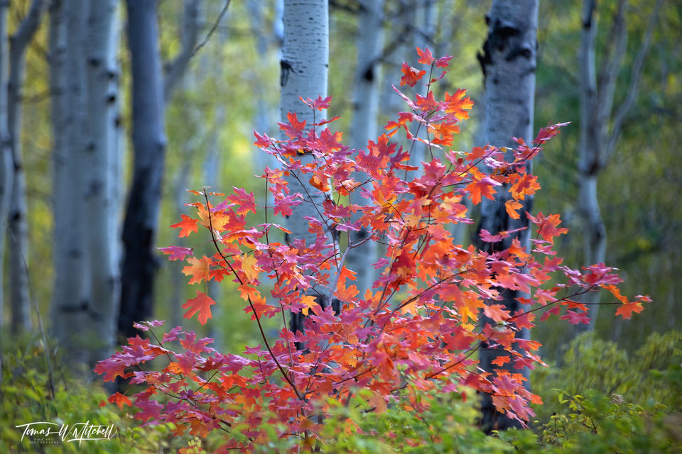 limited edition, museum grade, fine art, prints, maple tree, forest, evening light, shallow depth of field, aspen forest, trees, leaves, fall, colors red, yellow, green
