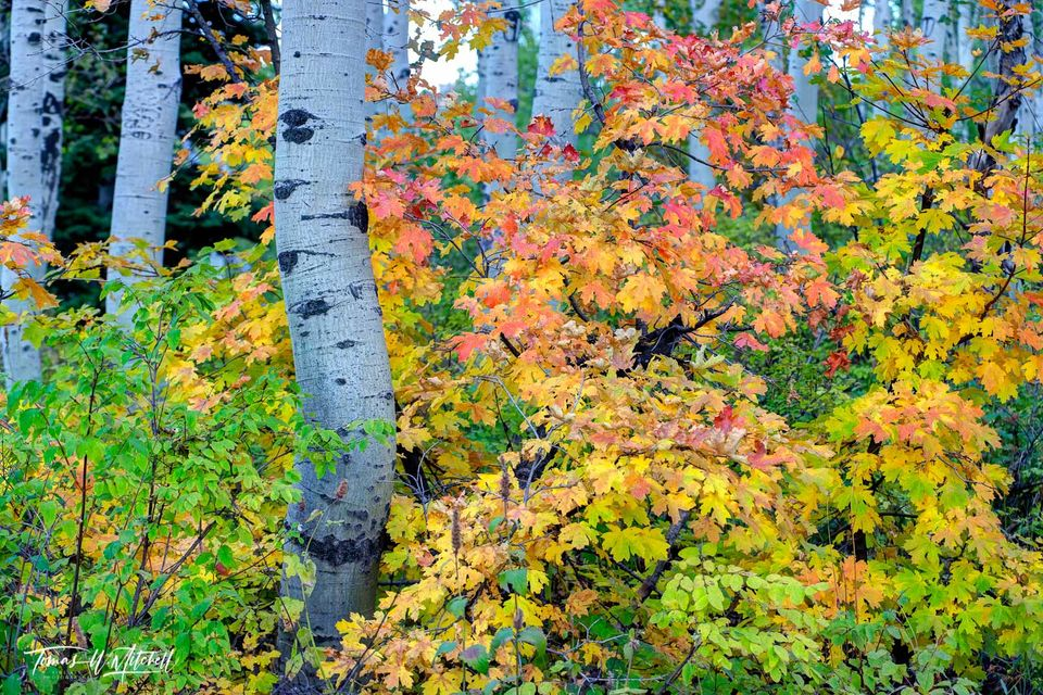 limited edition, museum grade, fine art, prints, photograph, maple, alpine loop, utah, bush, quaking aspen tree, tree, fall colors, fall, forest, red, yellow, green