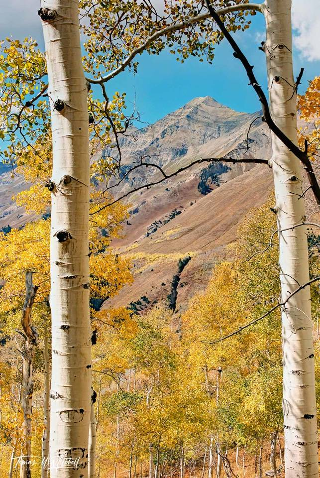 limited edition, fine art, prints, photograph, film, mount nebo, utah, peak, summit, branches, quaking aspens, trees, fall, colors, yellow, blue, sky