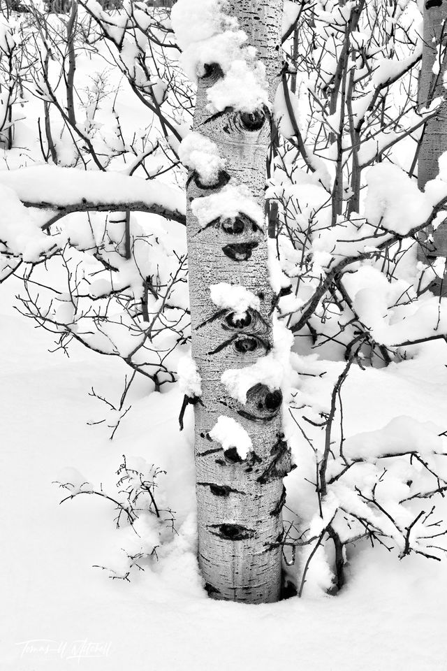 UINTA-WASATCH-CACHE NATIONAL FOREST, UTAH, limited edition, fine art, prints, trees, knot eyes, quaking aspen, photograph , snow, trunk, winters nap