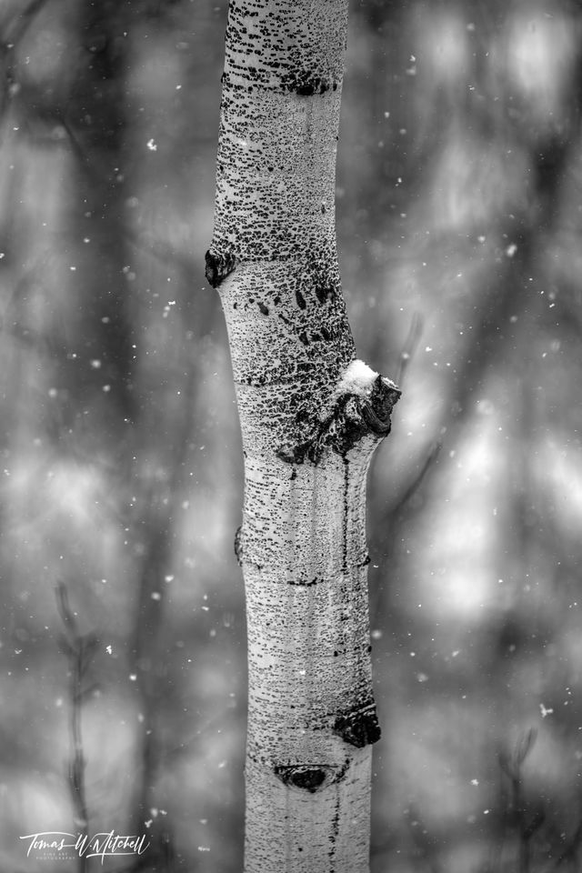 UINTA-WASATCH-CACHE NATIONAL FOREST, UTAH, limited edition, fine art, prints, snowstorm, aspen trees, snow, snowflakes, photograph, black and white, abstract, blur, winter
