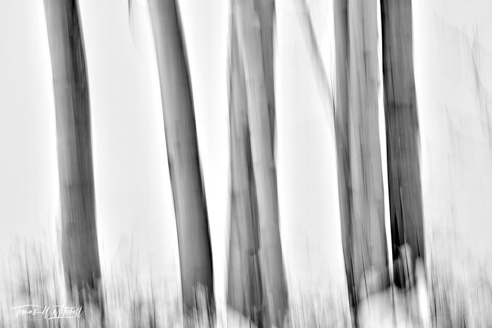 UINTA-WASATCH-CACHE NATIONAL FOREST, UTAH, limited edition, fine art, prints, winter, aspen trees, snow, blur, photograph, black and white, abstract