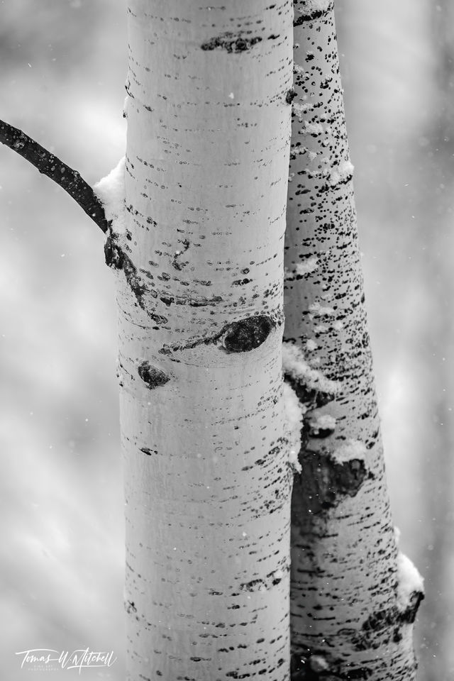 UINTA-WASATCH-CACHE NATIONAL FOREST, UTAH, limited edition, fine art, prints, snowstorm, winter, aspen trees, snow, photograph, black and white