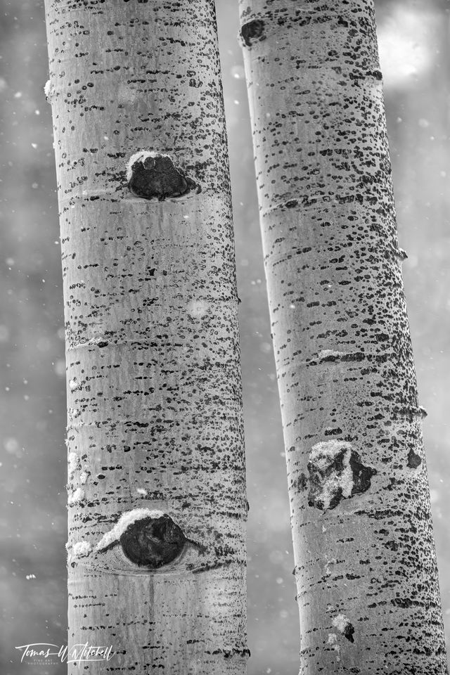 UINTA-WASATCH-CACHE NATIONAL FOREST, UTAH, limited edition, fine art, prints, snowstorm, aspen trees, snow, snowflakes, photograph, black and white, winter