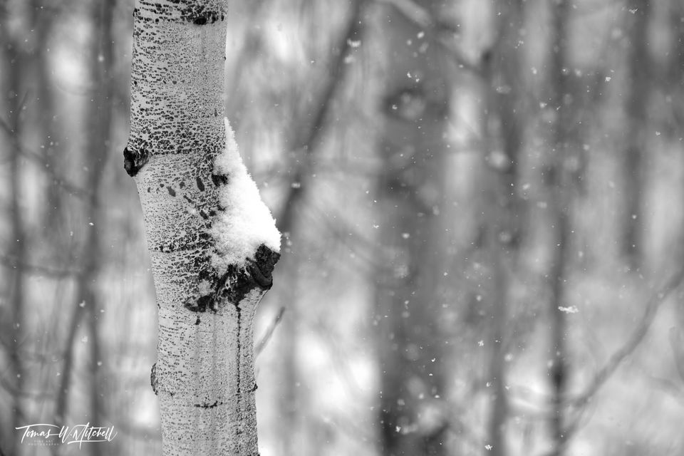 UINTA-WASATCH-CACHE NATIONAL FOREST, UTAH, limited edition, fine art, prints, snowstorm, aspen trees, snow, snowflakes, photograph black and white