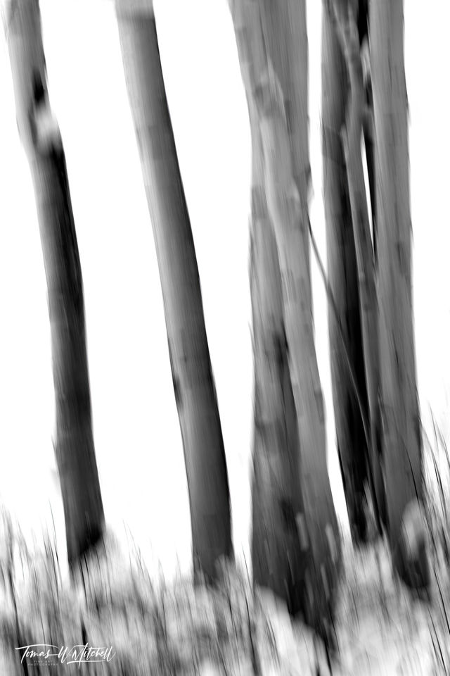 UINTA-WASATCH-CACHE NATIONAL FOREST, UTAH, limited edition, fine art, prints, snowstorm, aspen trees, snow, blur, photograph, black and white, abstract, winter