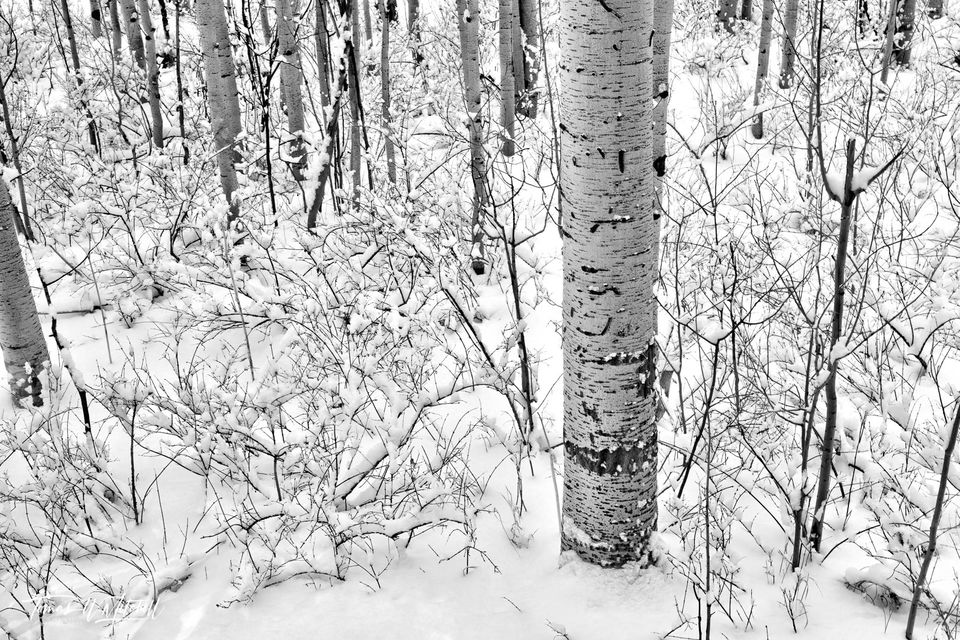 UINTA-WASATCH-CACHE NATIONAL FOREST, UTAH, limited edition, fine art, prints, trees, snowstorm, aspen, snow, photograph, black and white, snowflakes, winter