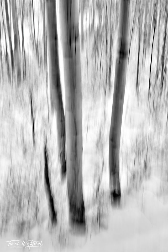 UINTA-WASATCH-CACHE NATIONAL FOREST, UTAH, limited edition, fine art, prints, snow, trees, snowstorm, aspen, snowflakes, photograph, abstract, black and white