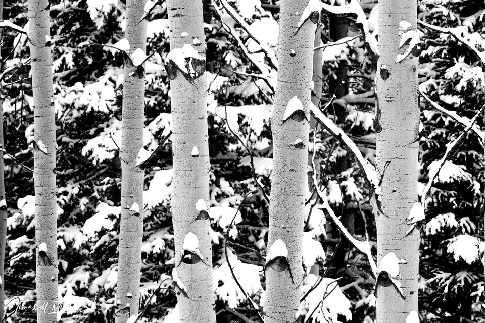 UINTA-WASATCH-CACHE NATIONAL FOREST, UTAH, limited edition, fine art, prints, aspen trees, winter, black and white, trunks, snow, fir, photograph