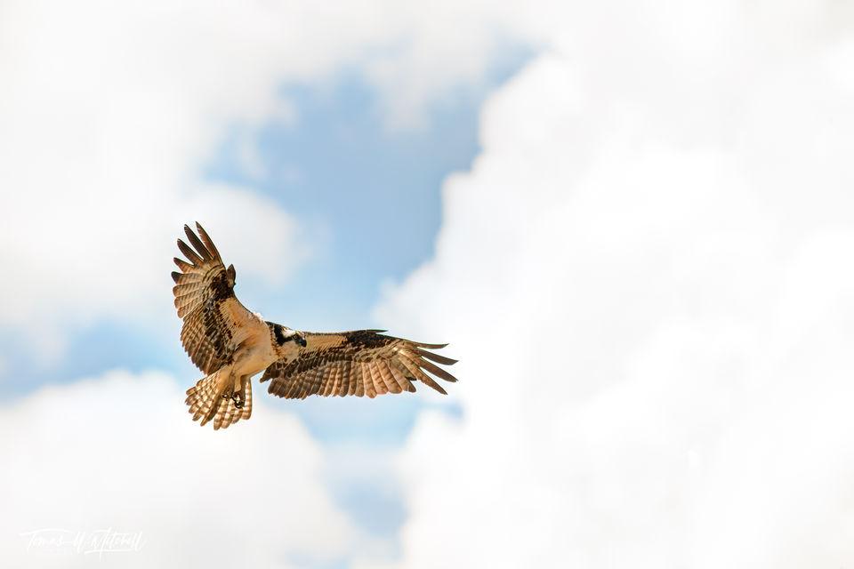 limited edition, fine art, prints, osprey, weber river, utah, bird, soaring