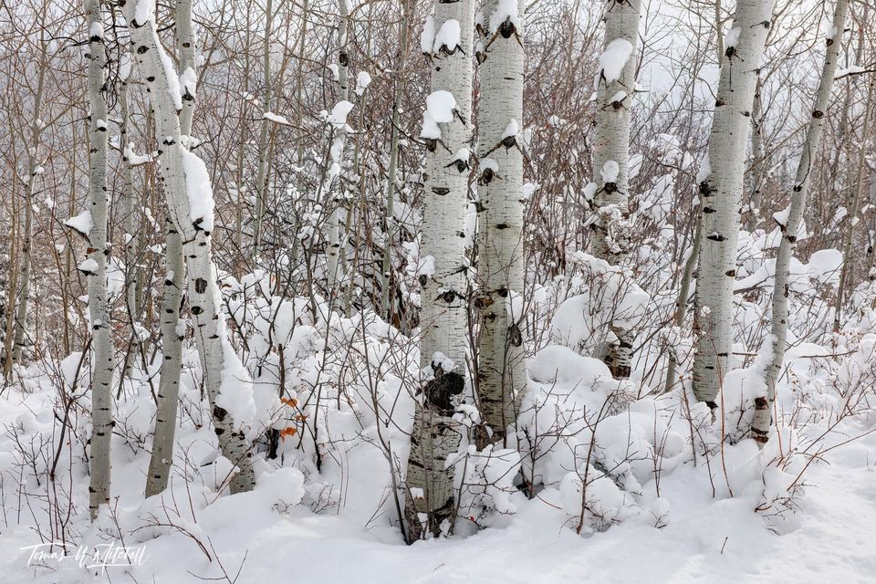 UINTA-WASATCH-CACHE NATIONAL FOREST, UTAH, limited edition, fine art, prints, snow, quaking aspen, trees, wintry, forest, winter, photograph