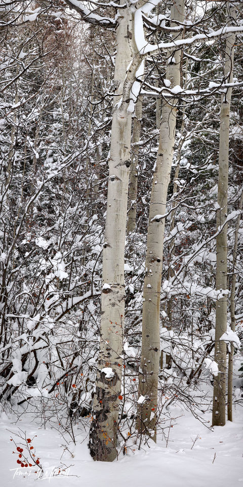 limited edition, fine art, prints, photograph, UINTA-WASATCH-CACHE NATIONAL FOREST, UTAH, winter, sentinels, panoramic, aspen trees, snow, branches, red, choke cherry leaves