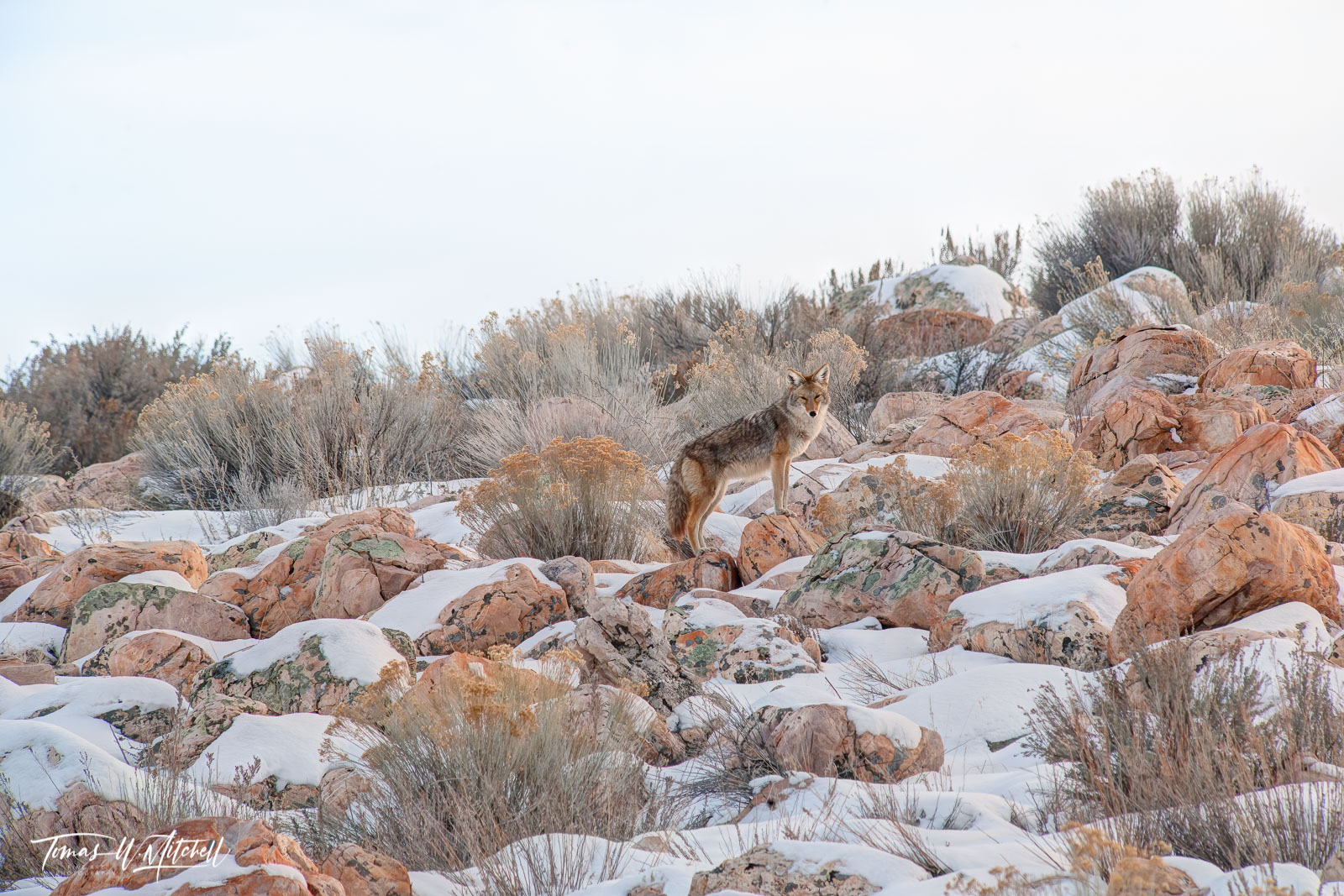limited edition, fine art, prints, antelope island, utah, coyote, animals, winter, rocks, muted colors, snow, photograph, wildlife, , photo
