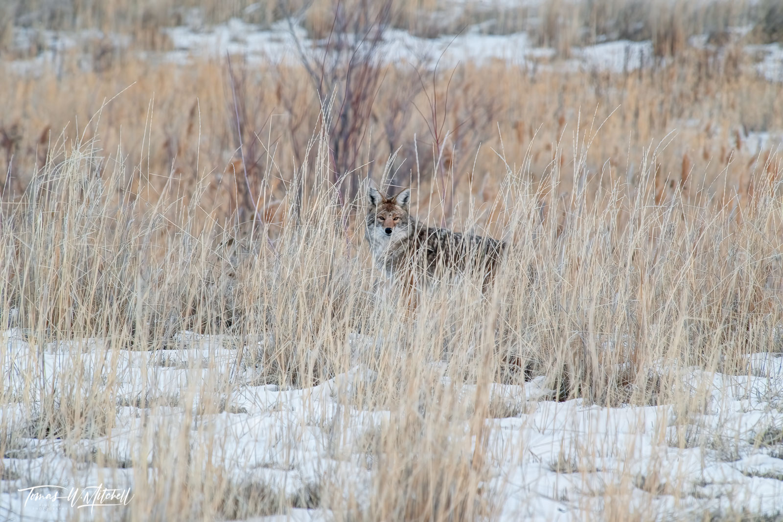 limited edition, fine art, prints, antelope island, utah, coyote, wildlife, weeds, photograph, abstract,, photo