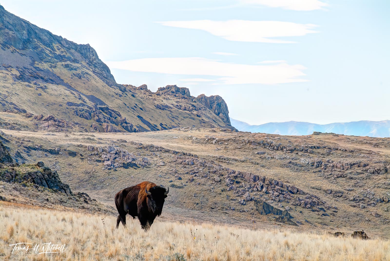 limited edition, fine art, prints, antelope island, utah, bull bison, , photo