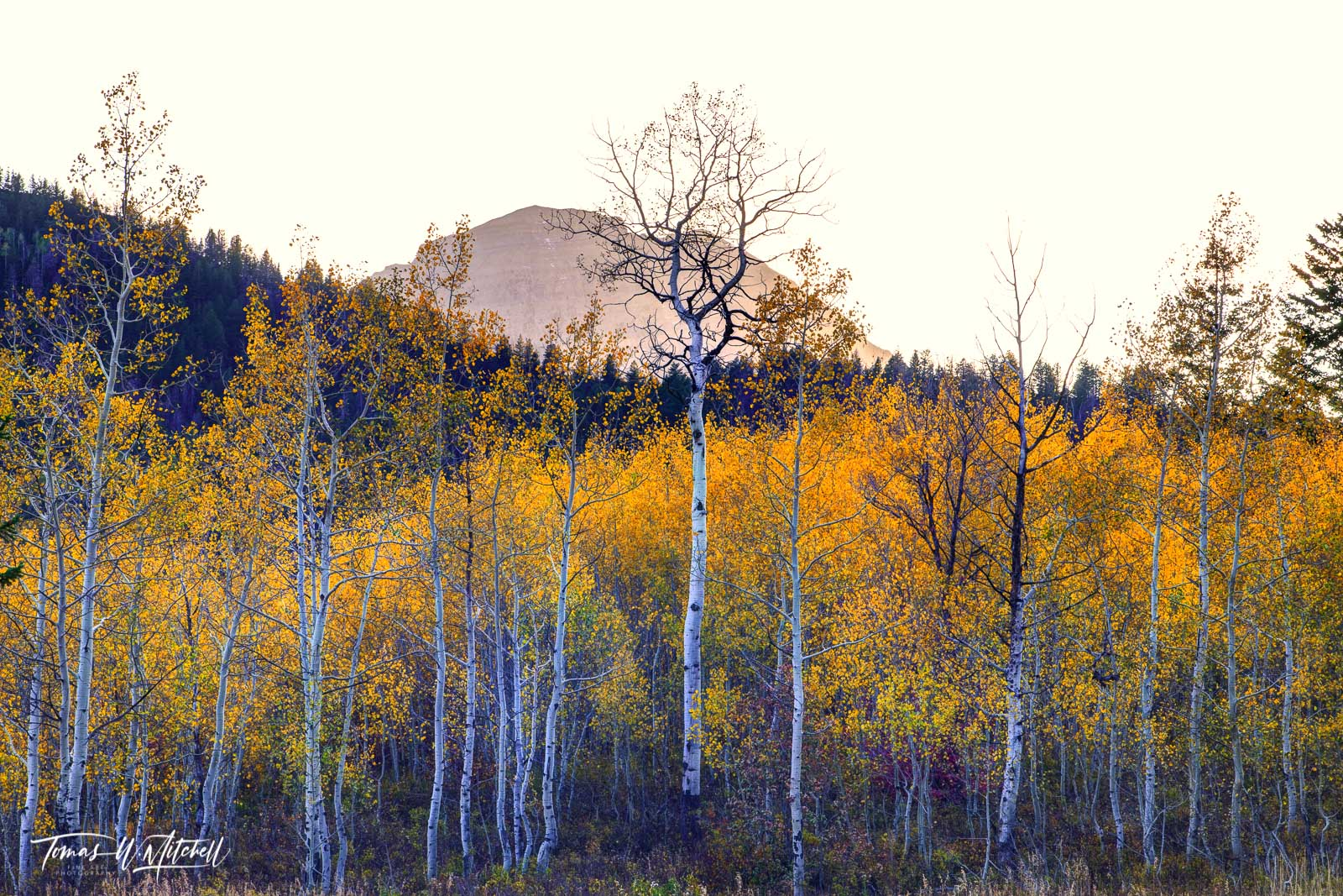 limited edition, museum grade, fine art, prints, alpine loop, utah, autumn, enchantment, photograph, evening, forest, mount timpanogos, bare trees, silhouetted, sky, trees, aspen trees, yellow, photo