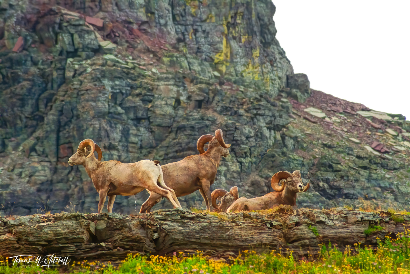 limited edition, fine art, prints, glacier national park, bighorn sheep, rams, photograph, photo