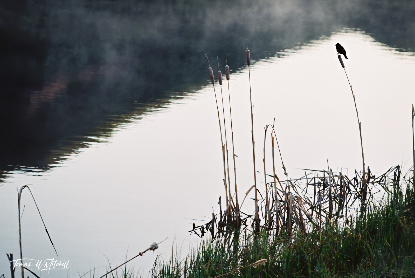 limited edition, fine art, prints, photograph, film, blackbird, morning, pond, mountain, reflection, water, bird, cattails, mist, photo